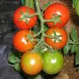 2009 トマトの虹