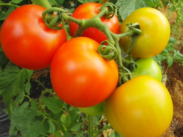 トマトの虹2014