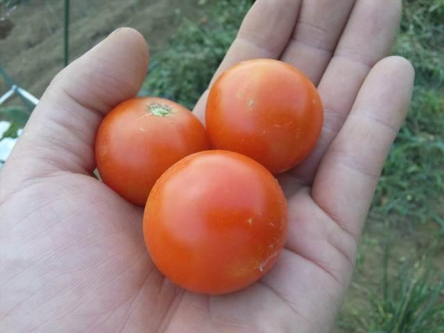 この夏最後のトマト