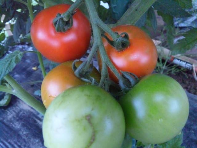 トマトの虹♪