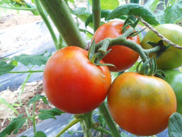 渾身のトマト!