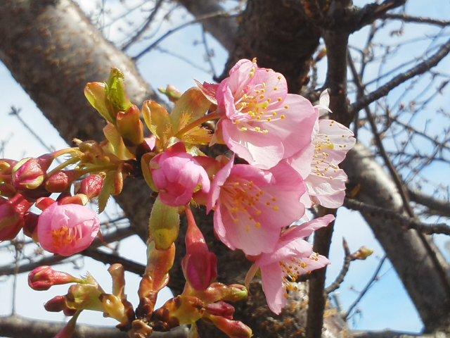 鵜とカワセミと桜