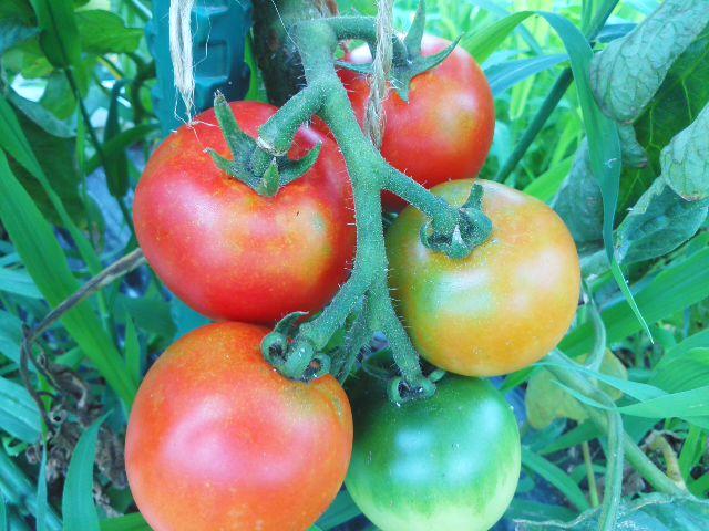 トマトの虹