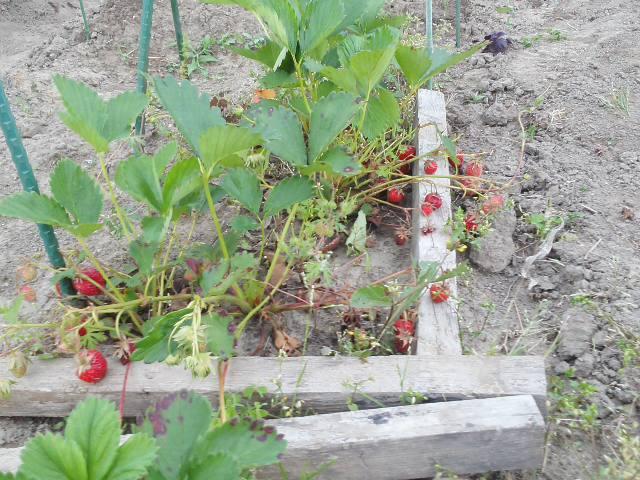 イチゴと九条と畑なぅ